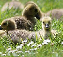 Little Gosling at Kew by Chris C