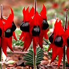 Spring in the Outback: Sturt&#x27;s Desert Pea  by Carole-Anne