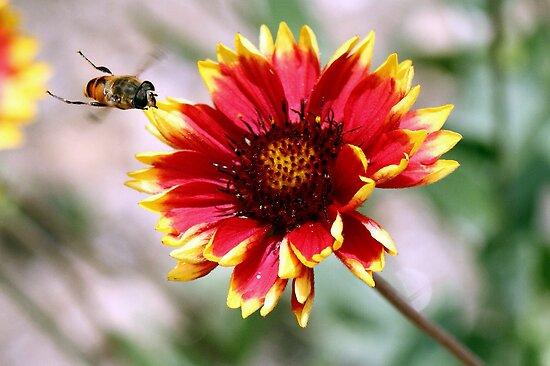 A honeybee in action! by debjyotinayak