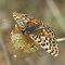 Female Spotted Fritillary by marens