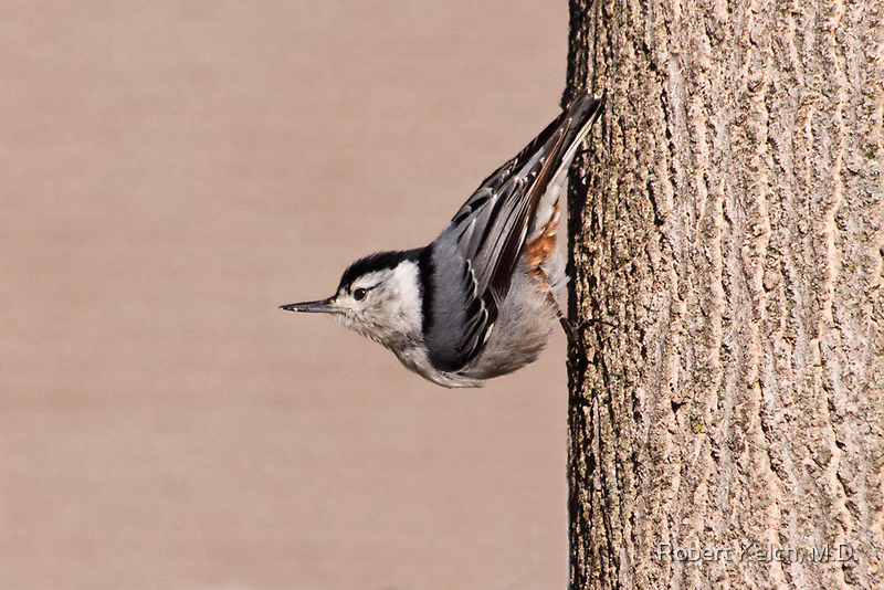 A Nuthatch pauses to consider? by Robert Kelch, M.D.