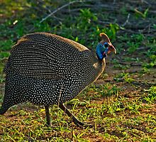 Helmeted Guineafowl (Numida meleagris) by Konstantinos Arvanitopoulos
