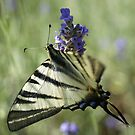 Scarce Swallowtail by marens