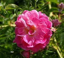 Pink Beach Rose by Lee d'Entremont