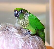 "*""Hair"" We Go Again..* - Maroon-Bellied Conure - NZ by AndreaEL"