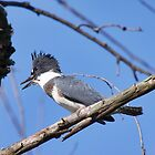 Belted Kingfisher by withacanon