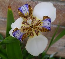 My star orchid by pinetrees