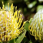 Proteas, Kirstenbosch Gardens, South Africa  by Carole-Anne