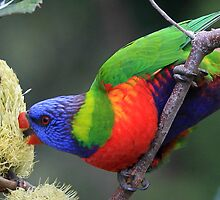 rainbow lorikeet by paulinea