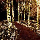 Silver Birch by Margi