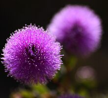 fluffy purple by Isabel  Rosero