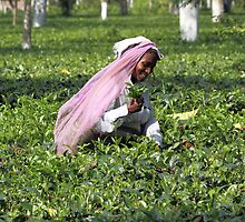 Images of tea gardens in India # 1 by debjyotinayak