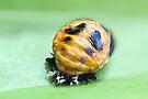 Ladybird larva - pupal stage by missmoneypenny