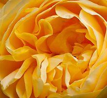 An English Rose by DonDavisUK