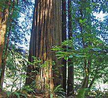 Redwood Trees California Redwoods Forest art by BasleeArtPrints