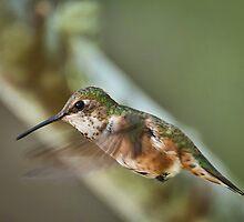 A Beautiful Female Hummingbird by David Friederich