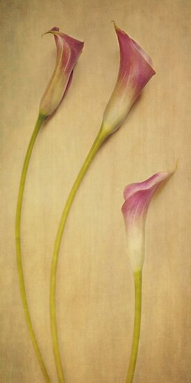 calla lilies by Priska Wettstein
