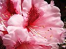 Pink Rhododendron Flower art prints Floral Garden by BasleeArtPrints