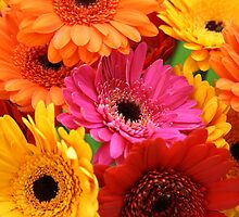 Brightly coloured gerbera by SunshineSong
