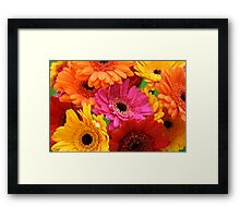 Brightly coloured gerbera Framed Print