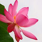 Lotus Beauty by Chrisdor