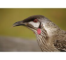 a wattle bird came to see me Photographic Print