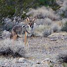 Chester The Coyote by RichardKlos