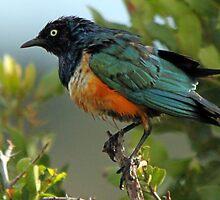 Superb Starling by Jennifer Sumpton