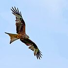 Red Kite by Val Saxby