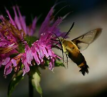Hummingbird Moth by Brent McMurry