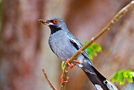 Red-legged Thrush, Nassau, Bahamas by Shane Pinder