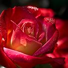 Rose sparkling with morning dew by Celeste Mookherjee