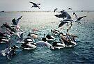 Seagulls v's Pelicans by yolanda