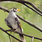 Mynah bird looking afar by Robert Kelch, M.D.