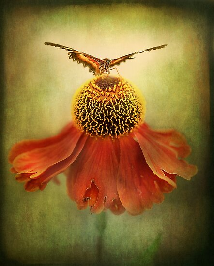 Butterfly on dancing Coneflower.. by polly470