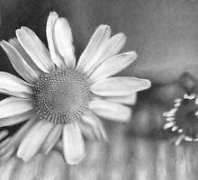 Daisy by Bridie Flanagan