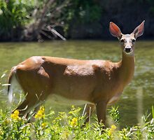 Doe A Deer A Female Deer by withacanon
