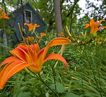 Among the Lilies by Sue  Cullumber