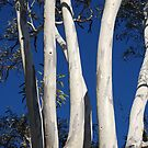 Winter white gums, Leura, Blue Mountains of NSW by Catherine Davis
