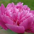 Pink Peonies Passion by PatChristensen