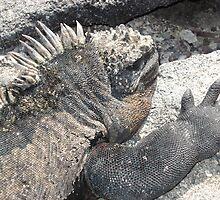 Marine Iguana by Ccarter13