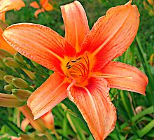 What do you call a tiger with no spots?  Hemerocallis fulva by Edibl3leper