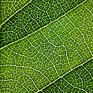 Leaf Lines III by Natalie Kinnear