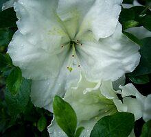 White Azalea by Rewards4life