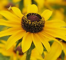 Rudbeckia (Brown-eye Susans) by lorilee