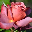 Hot Cocoa Rose... by Carol Clifford