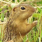 Profile of a Ground Squirrel by lorilee