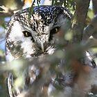 Boreal Owl (Aegolius funereus) by Marty Samis
