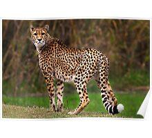 Cheetah - Taronga Western Plains Zoo Dubbo Poster