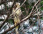Red Tailed Hawk by barnsis